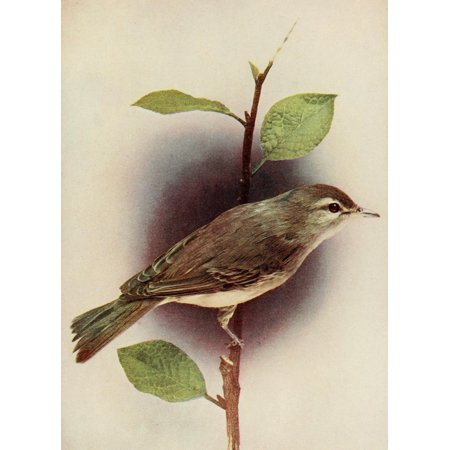 Bird Neighbors 1904 Warbling Vireo Stretched Canvas - Henry C Denslow (18 x - Warbling Birds