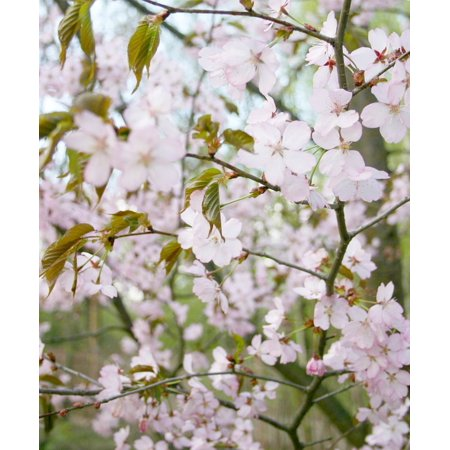 LAMINATED POSTER Sakura Tree Pink Bloom Poster Print 24 x 36 ()