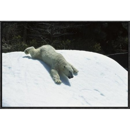 East Urban Home Polar Bear Sliding Down Snow Bank  Native To Canada Framed Photographic Print