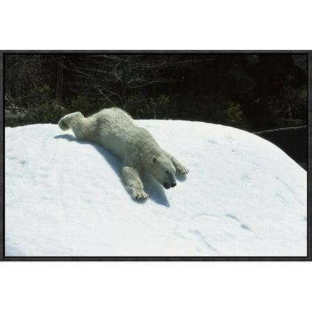 East Urban Home Polar Bear Sliding Down Snow Bank  Native To Canada Photographic Print