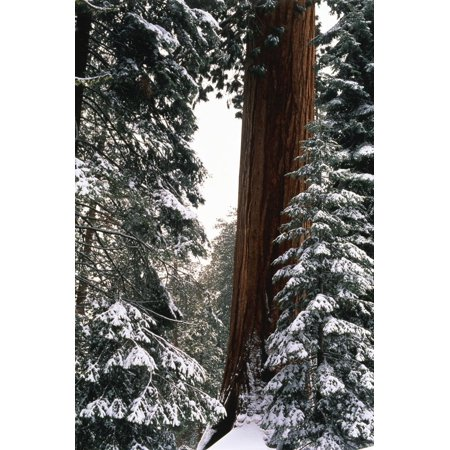 Giant Forest, Giant Sequoia Trees in Snow, Sequoia National Park, California, USA Print Wall Art By Inger