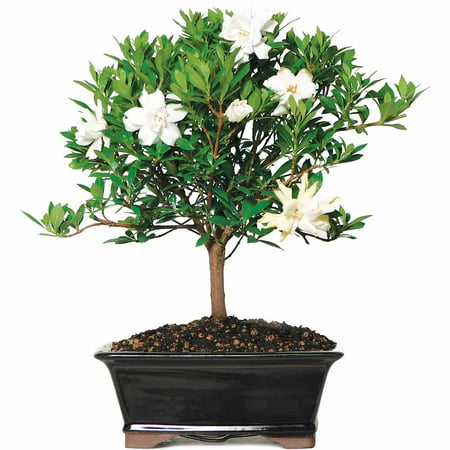 Image of Brussel's Gardenia Bonsai - X Large - (Outdoor)