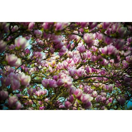 Beautiful pink magnolias blossoming Ascona Ticino Switzerland Stretched Canvas - Mats Silvan  Design Pics (19 x