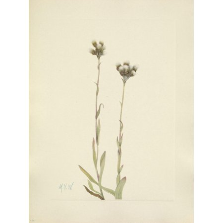 N American Wild Flowers 1925 Grey Pussytoes Canvas Art - Mary V Walcott (18 x 24) ()
