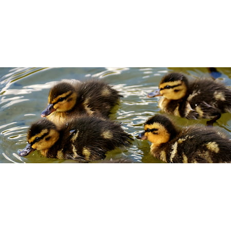 Canvas Print Cute Small Swim Chicks Funny Sweet Baby Mallards Stretched Canvas 10 x 14](Sweet Nude Chicks)