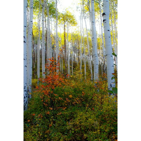 Aspen in the Day Poster Print by Kathy Mansfield