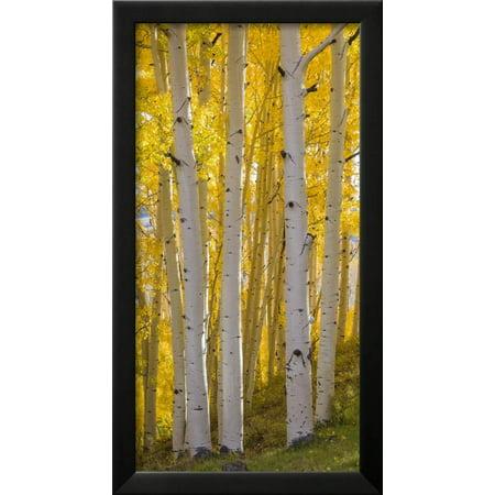 Aspen Trees in a Forest, Boulder Mountain, Utah, Usa Framed Print ...