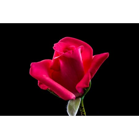 Laminated poster red rose rose blossom flower bloom poster for Rose adesive