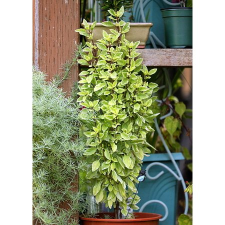 Perpetual Pesto Basil - The Best Basil - Live Plant - 3