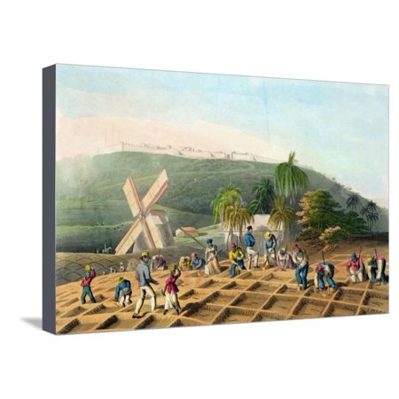 Planting the Sugar-Cane, Pub. by Infant School Society Depository, London, C.1820 Stretched Canvas Print Wall Art