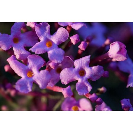 Canvas Print Butterfly Bush Lilac Plant Buddleja Davidii Stretched Canvas 10 x