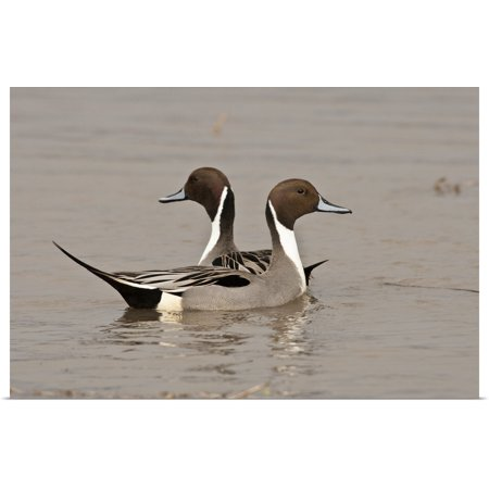 "Great BIG Canvas | ""Two Northern Pintail drakes"" Poster Print"