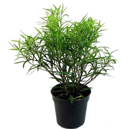Bamboo Leaf Weeping Fig Tree - Bonsai/House Plant - 4