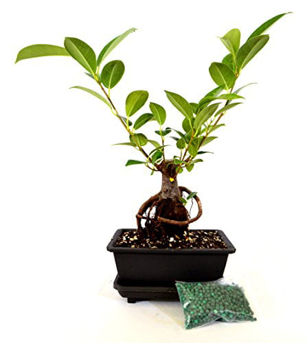 9greenbox Live Ginseng Ficus Bonsai Tree Bonsai Small Ficus Retusa Water Tray Fertilizer Gift Walmart Com Walmart Com