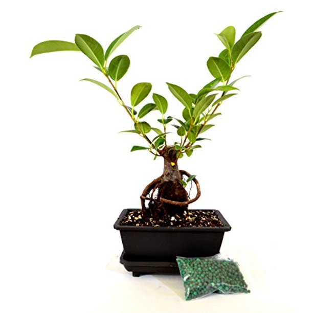 9greenbox Live Ginseng Ficus Bonsai Tree Bonsai Small Ficus Retusa Water Tray Fertilizer Gift Walmart Com Walmart Com