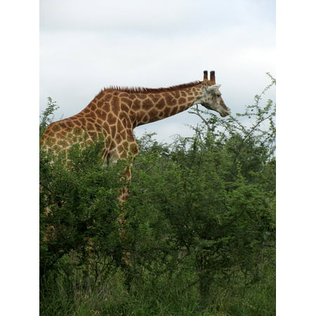- Canvas Print Female Fauna Giraffe Eatting Animal African Male Stretched Canvas 10 x 14
