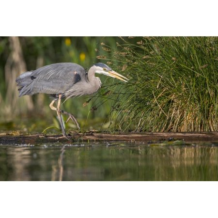 Washington, Great Blue Heron Stalks for Food on Union Bay, Lake Washington, Seattle Print Wall Art By Gary (Discount Health Food Store Bay City Mi)