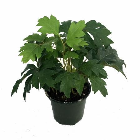 Oak Leaf Grape Ivy Plant - Cissus rhombifolia - 4