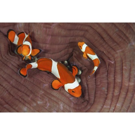 False clownfish swim around their host anemone on a reef in Indonesia Poster - Clownfish Anemone