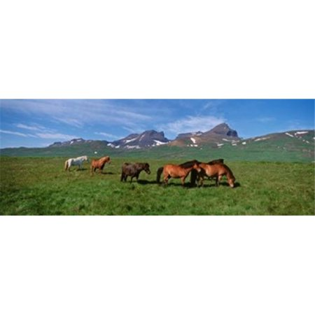 Panoramic Images PPI88956L Horses Standing And Grazing In A Meadow  Borgarfjordur  Iceland Poster Print by Panoramic Images - 36 x 12 - image 1 of 1