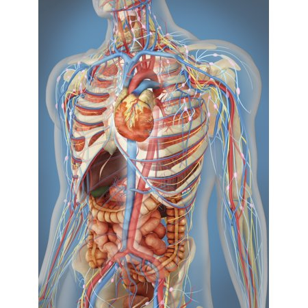 Transparent human body showing heart and main circulatory system position with internal organs nervous system lymphatic system and circulatory system Poster Print (8 x