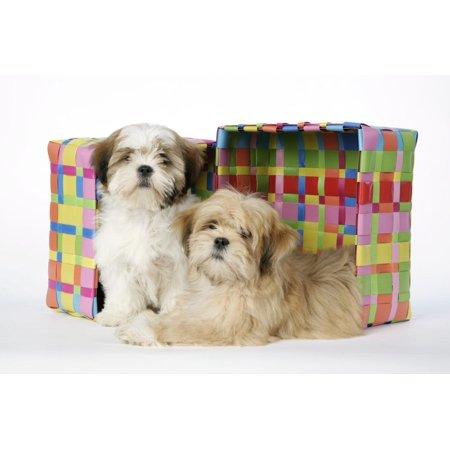 Shih Tzu and Lhasa Apso (Right) Puppies Print Wall Art