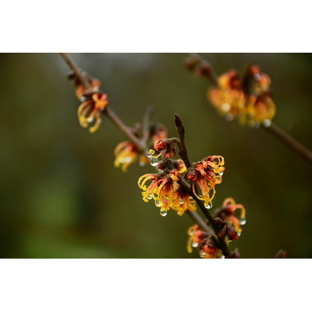 - Canvas Print Drip Flowers Witch Hazel Raindrops Shrub Stretched Canvas 10 x 14