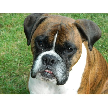 Laminated Poster Breed Cute Boxer Animal Dog Boxer Dog Puppy Pet Poster Print 24 x (Cute Dog Breeds)