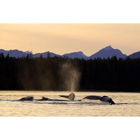 Humpback Whales Swim Along The Shoreline Of Admiralty Island At Sunset Stephens Passage Inside Passage Southeast Alaska Autumn Digitally Altered Canvas Art - John Hyde Design Pics (19 x 12)