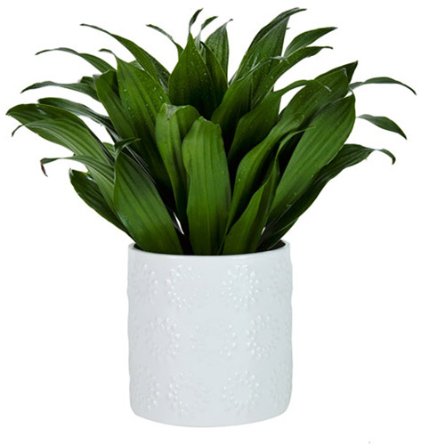 "Exotic Angel Plants 4.9"" Dracaena Janet"