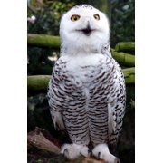 Beautiful Snowy Owl Journal: 150 Page Lined Notebook/Diary