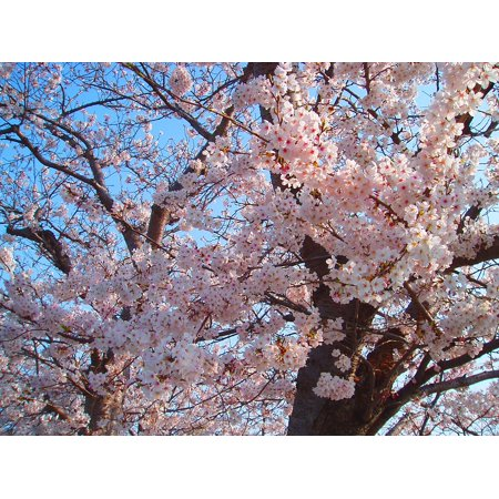 canvas print cherry blossoms flowers natural pink cherry spring stretched canvas 10 x 14](Natural Canvas)