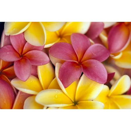 Close-Up Of Yellow And Pink Plumeria Flowers C1662 Stretched Canvas - Dana Edmunds  Design Pics (19 x - Plumeria Design