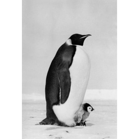 Emperor Penguin with its chick on snow (Aptenodytes Forsteri) Canvas Art -  (24 x 36) (Its Chick)