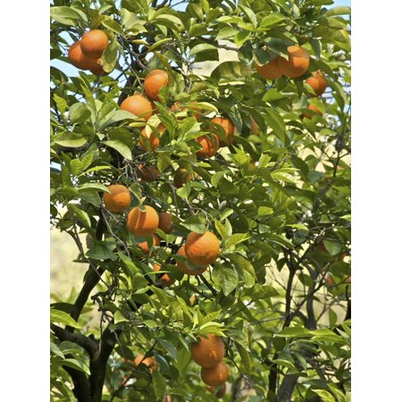 Neroli Orange Flowers and Oranges in Gardens of Reales Alcazares, Seville Print Wall Art By Guy