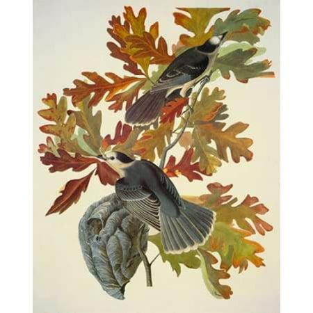 Canada Jay Poster Print By  John James Audubon