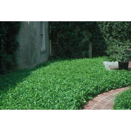Classy Groundcovers - Trachelospermum asiaticum  {50 Bare Root plants}