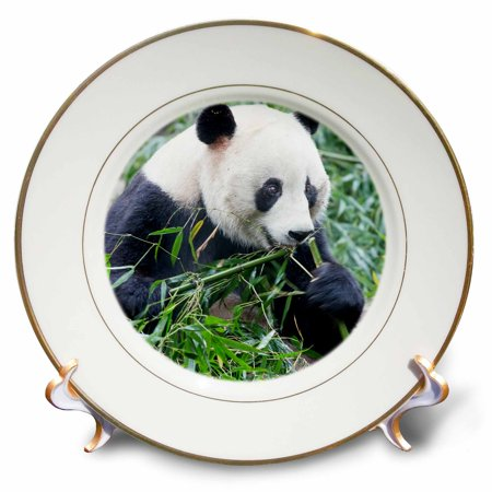 3dRose China, Sichuan Province, Chengdu, Panda Bear eating bamboo. - Porcelain Plate, - Porcelain Panda