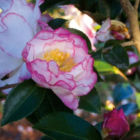 October Magic Inspiration Camellia Sasanqua White