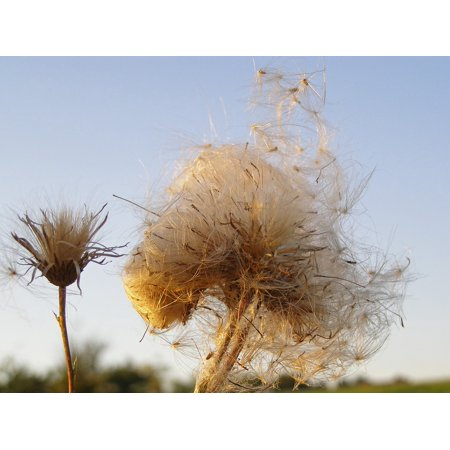 Dried Wildflower - Canvas Print Seeds Thistle Wildflower Fluff Dry Meadow Sky Stretched Canvas 10 x 14