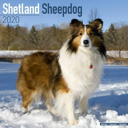 Shetland Sheepdog Calendar 2020 - Shetland Sheepdog Dog Breed Calendar - Shetland Sheepdogs Premium Wall Calendar 2020-2020
