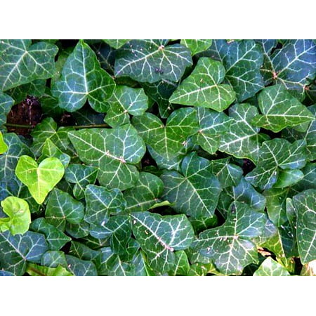 (English Ivy 48 Plants - Hardy Groundcover - Sun or Shade -1 3/4