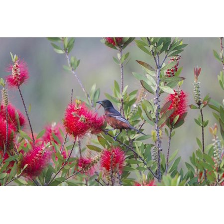 Orchard Oriole Male Feeding on Bottle Brush Flower Nectar Print Wall Art By Larry Ditto