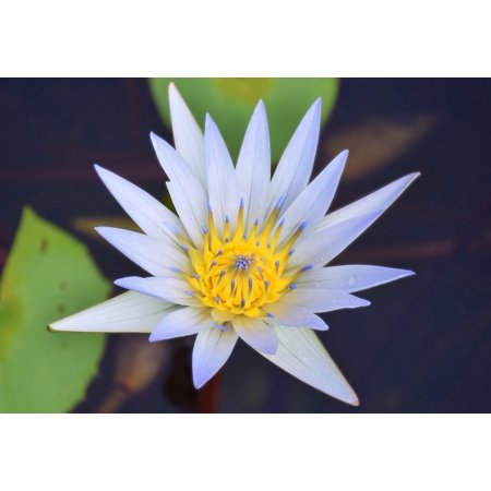 LAMINATED POSTER Water Lilly Water Lilly With Yellow White Water Lilly Poster Print 24 x 36