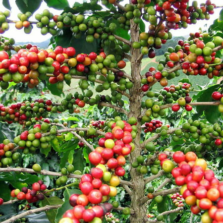 Hirt's Arabica Coffee Bean Plant - 3
