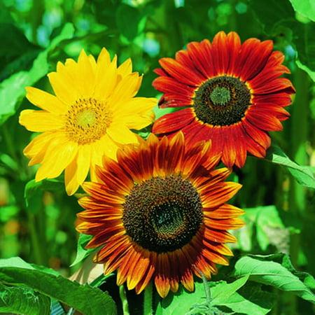 Ferry Morse Fm Sunflower Autumn Beauty