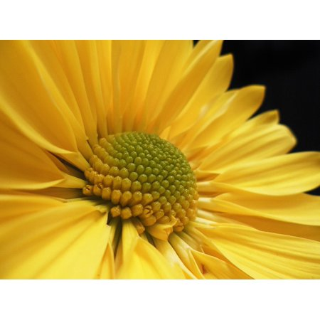 Yellow Flower Daisy Yellow Nature Plant Flower Poster Print 24 x 36