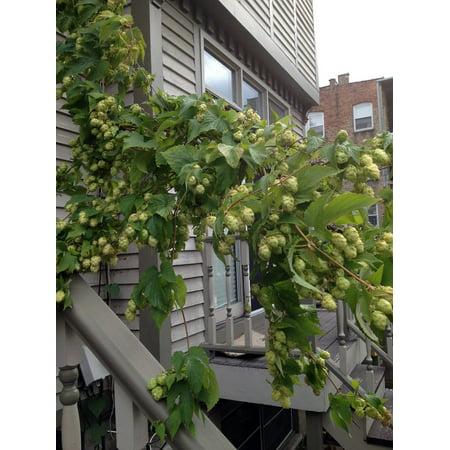 2005 Four Vines (Crystal Beer Hops Vine - Humulus - Grow your own Beer! - 4