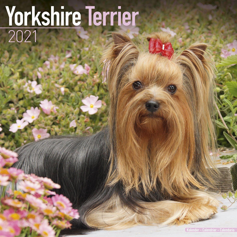 Yorkshire Terrier Calendar 2021 Yorkshire Terrier Dog Breed Calendar Yorkshire Terriers Premium Wall Calendar 2021 Walmart Com Walmart Com
