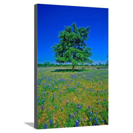 Bluebonnets in bloom with tree on hill, Spring Willow City Loop Road, TX Stretched Canvas Print Wall Art](Party City Spring Tx)
